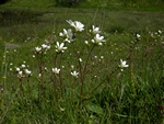 Meadow Saxifrage (Saxifraga granulata)